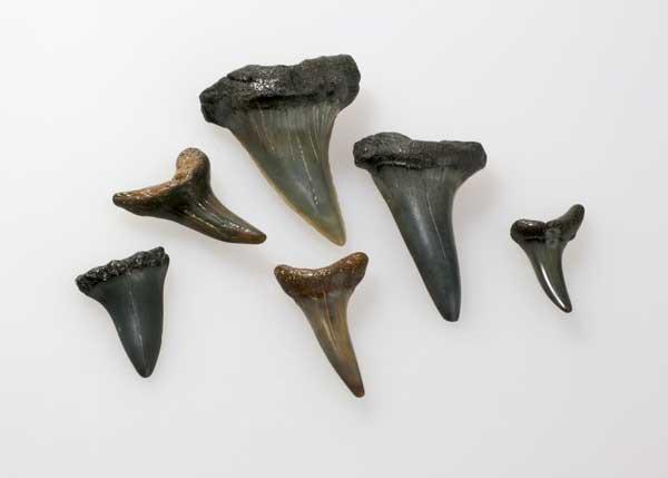 Sharks Teeth Topsail NC